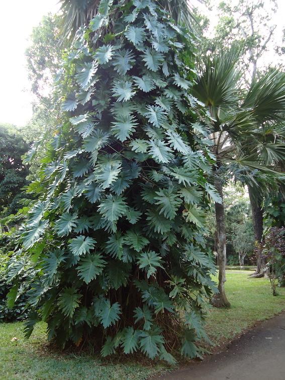 Pampelmousses Botanical Garden